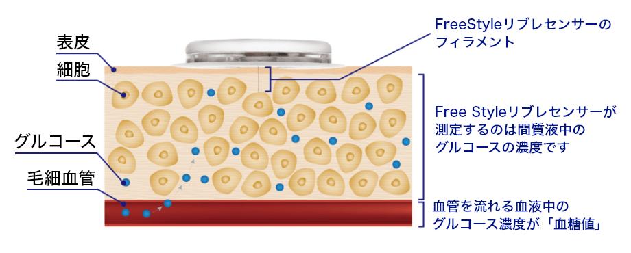 FreeStyleリブレセンサーが測定するのは、間質液中のグルコースの濃度です 血管を流れる血液中のグルコース濃度が「血糖値」